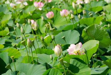 Lotosblumen in voller Blüte