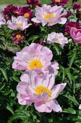 Flower bed of peonies