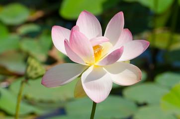 aufblühende Lotosblume