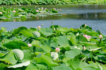 Lotosblumen im See