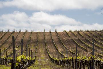 Landscape view of a grape vineyard cultivation