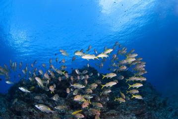青い海と黄色い魚の群れ