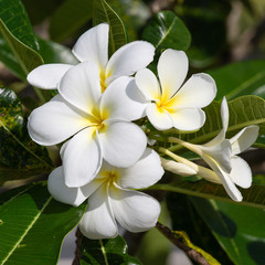 White Frangipani flower at full bloom during summer. Plumeria.
