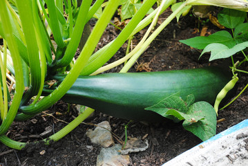 Large Green Zucchini Growing in a Garden