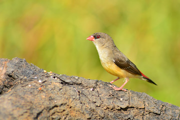 Red Avadavat bird
