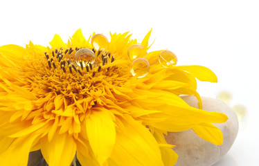 Vibrant Sunflower with Capsules