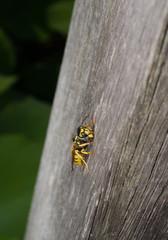 Wespe auf Holzplanke