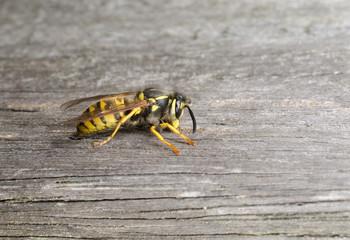 Wespe benagt Holz