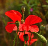 Red poppy, floral bud and seedpods poster