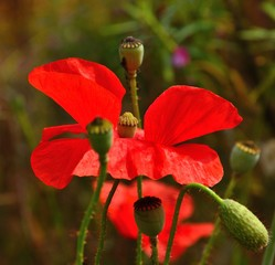 Red poppy, floral bud and seedpods