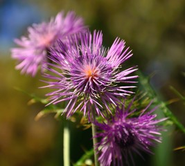 Colorful wild thistle flower