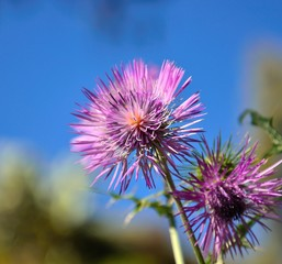Colorful thistle flower on blue background