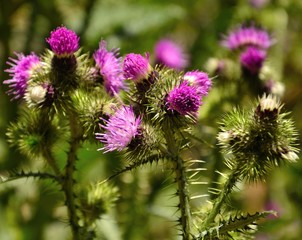 Group of wild thistle flowers