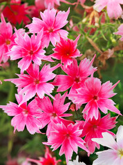 Vivid pink and white flowers