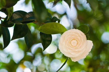 White camellia in the tree