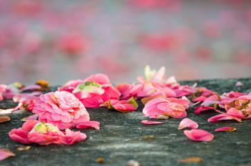 Camellia flowers fall
