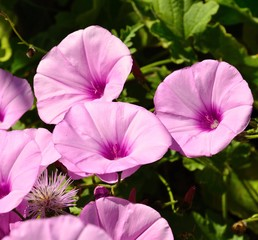 Group of morning glory flowers
