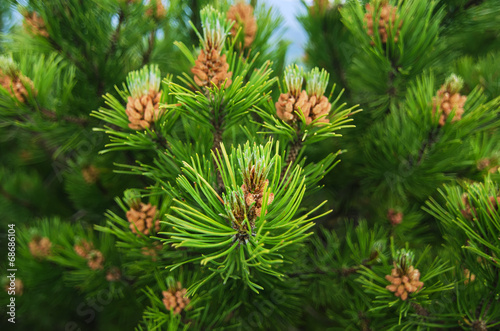 canvas print picture Fir tree background