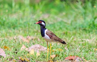 A bird, red wattled lapwing, on a green grass field