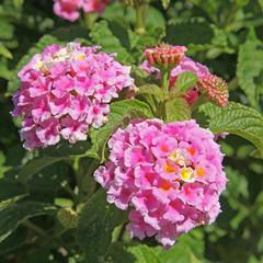 fleur de lantana rose