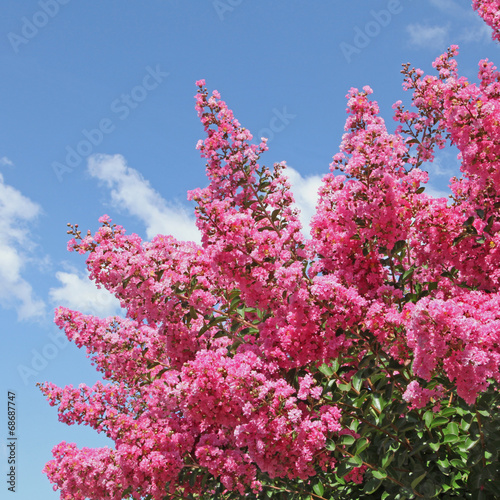Papiers peints Lilac lagerstoemia