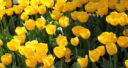 Amsterdam tulips.