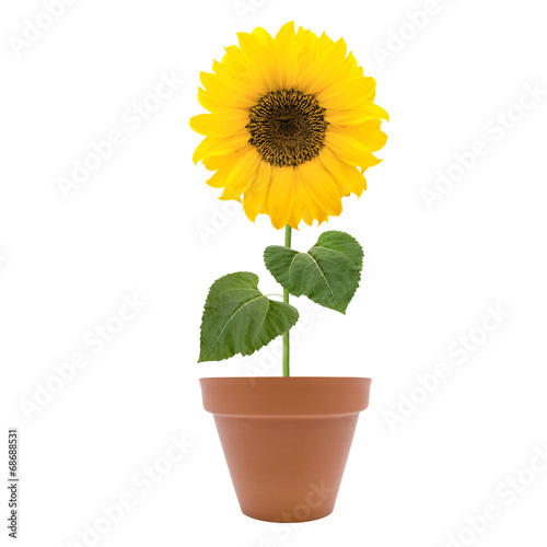 Plexiglas Zonnebloemen Sonnenblume im Topf