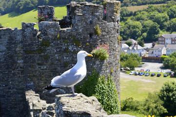 Western gull Latin name Larus occidentalis
