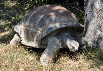 Big turtle in the grass