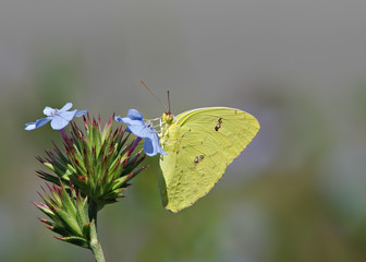 Sulphur Butterfly Feeding on Blue Flower