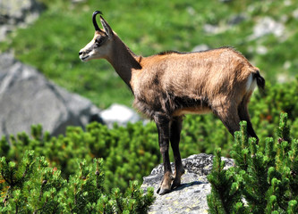 view of the chamois in the summer in the mountains