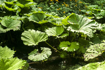 Giant butterbur green leaves in forest mountain river