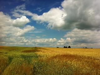 Blühendes Getreidefeld vor der Ernte