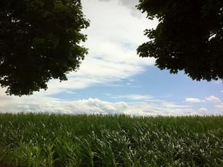 Maisfeld blüht auf