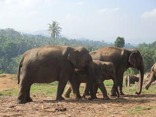 Pinnawala, Sri-Lanka