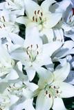 Fotoroleta White lilies