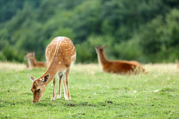 Whitetail deer fawn on a meadow in summer