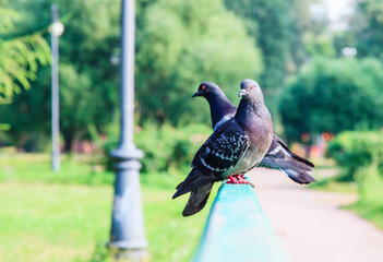 Two pigeons on the bridge