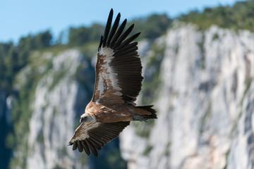 Gänsegeier, Griffon vulture, Gyps fulvus