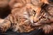 piękny portret młodej kotki rasy maine coon