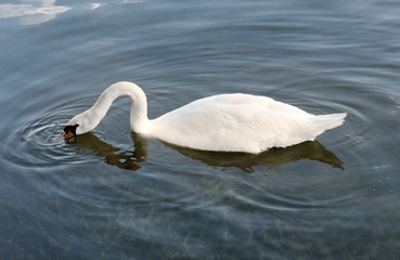 Mute swan foraging for plants below the water
