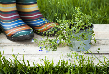 rubber boots and growing plant on the old weathered wooden backg