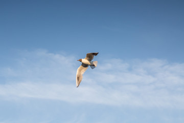 pewit in sky