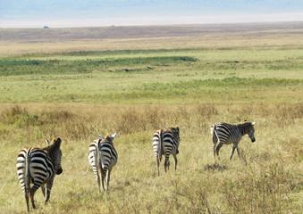 The beatles zebras