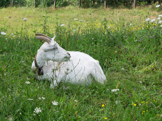 White Billygoat, male goat, lying in field, chewing grass. Farm