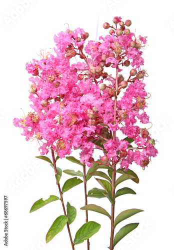 Foto op Canvas Lilac lagerstroemia