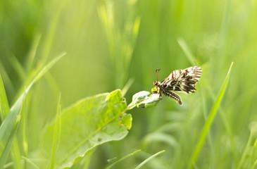 Butterfly (Zerynthia polyxena) in grass-shallow DOF