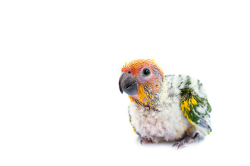 Sun conure parrot on white background.