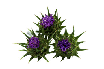 Milk thistle ( Silybum marianum )