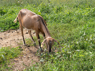 Brown goat grazing in field, agricultural detail, farm animal.